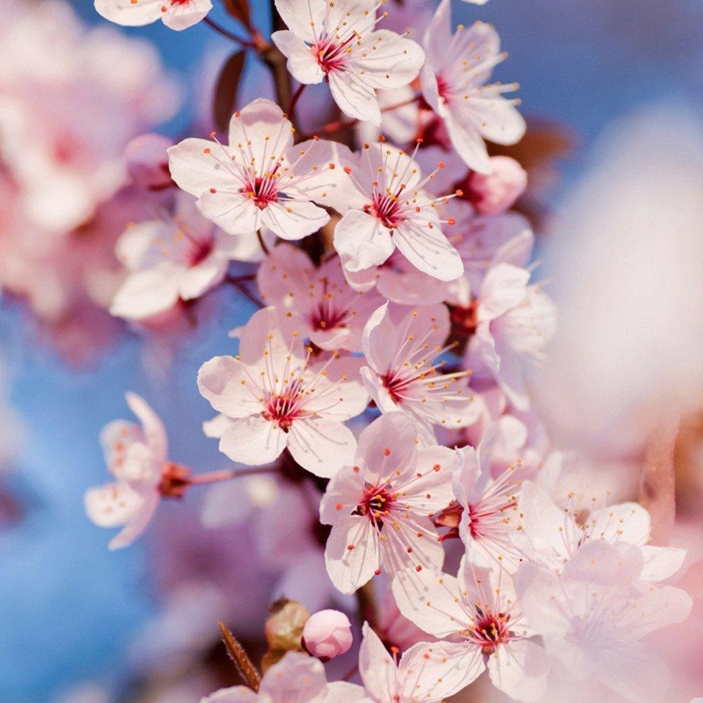 Hình hoa Anh Đào ở Nhật Bản
