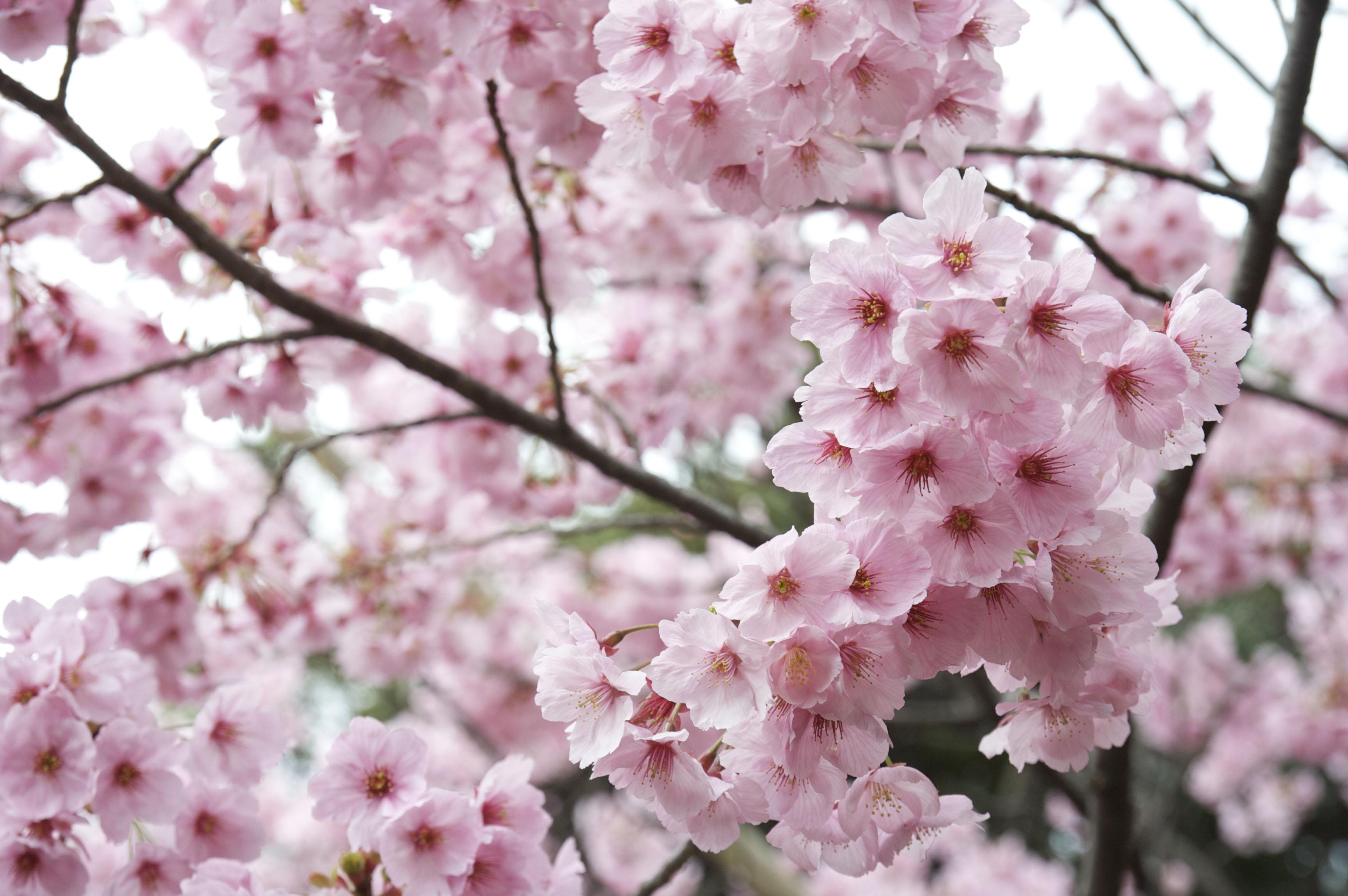 Hình hoa Anh Đào