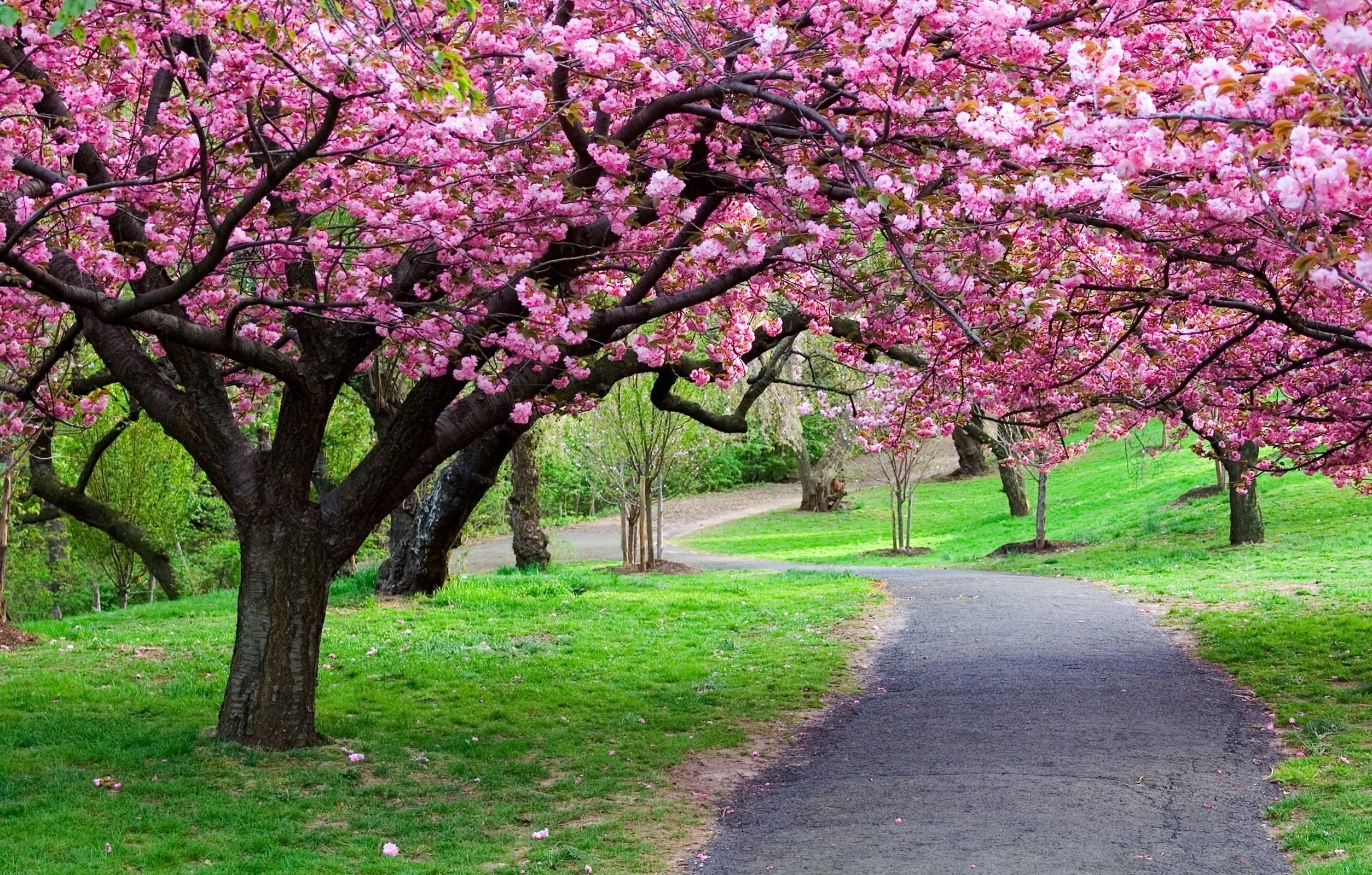 Hình nền hoa anh đào đẹp