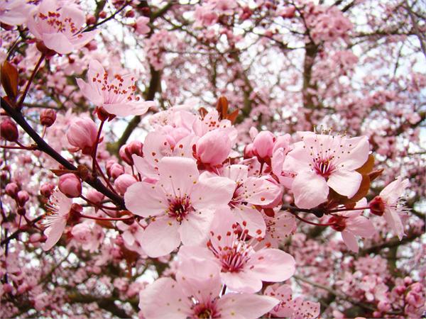 Hình những bông hoa Anh Đào Nhật Bản đua nhau khoe sắc
