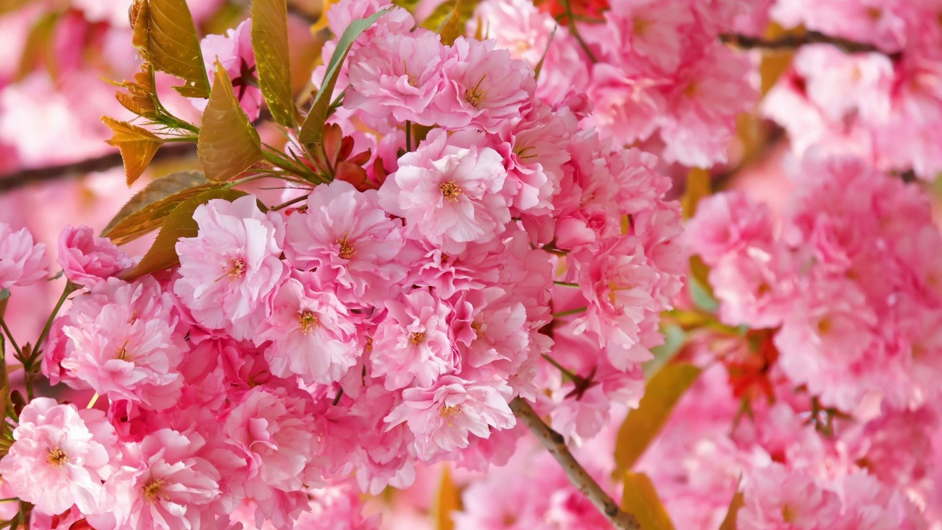 Hình những bông hoa Anh Đào nở rộ đẹp rực rỡ