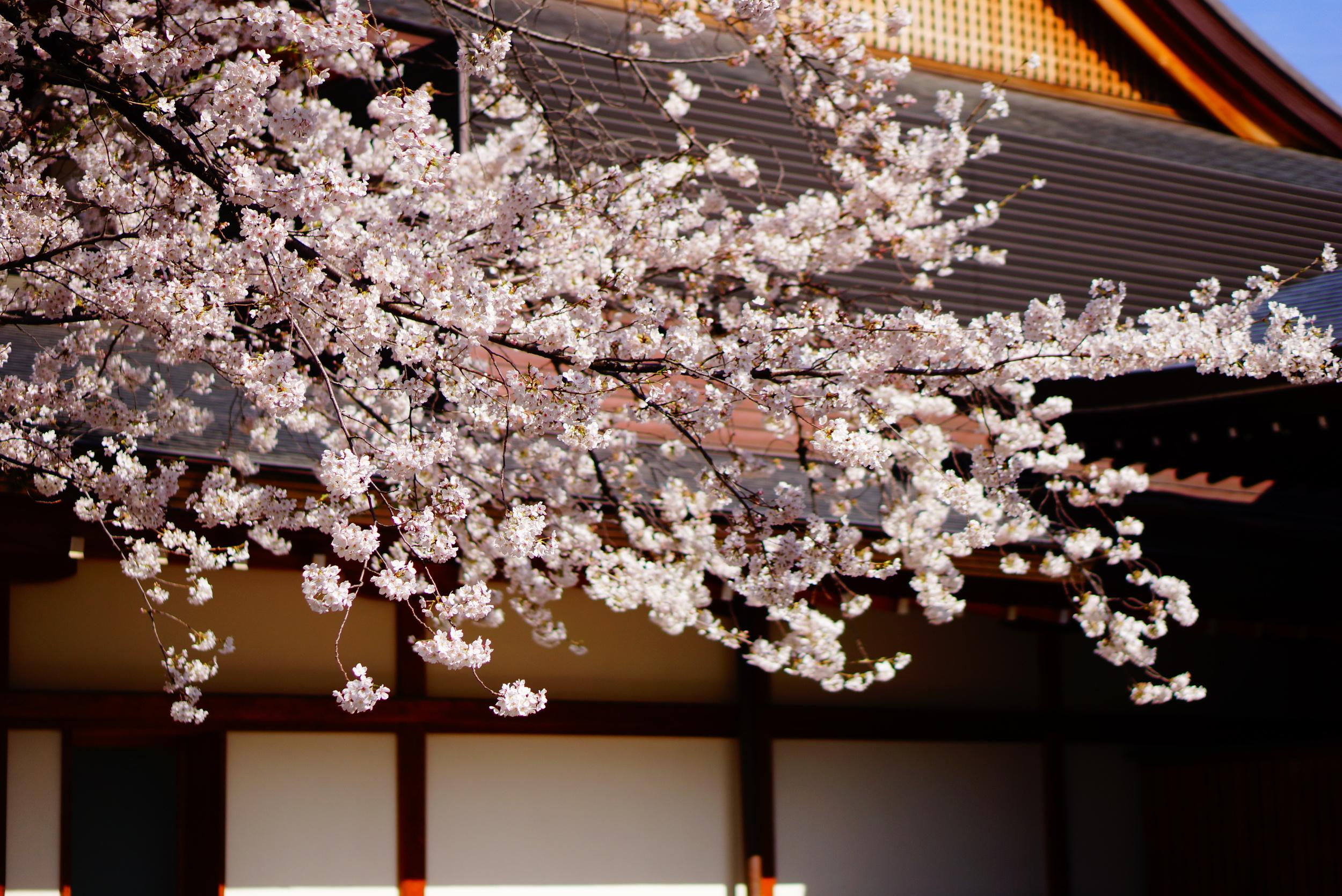 Hoa Anh đào Nhật Bản cực đẹp