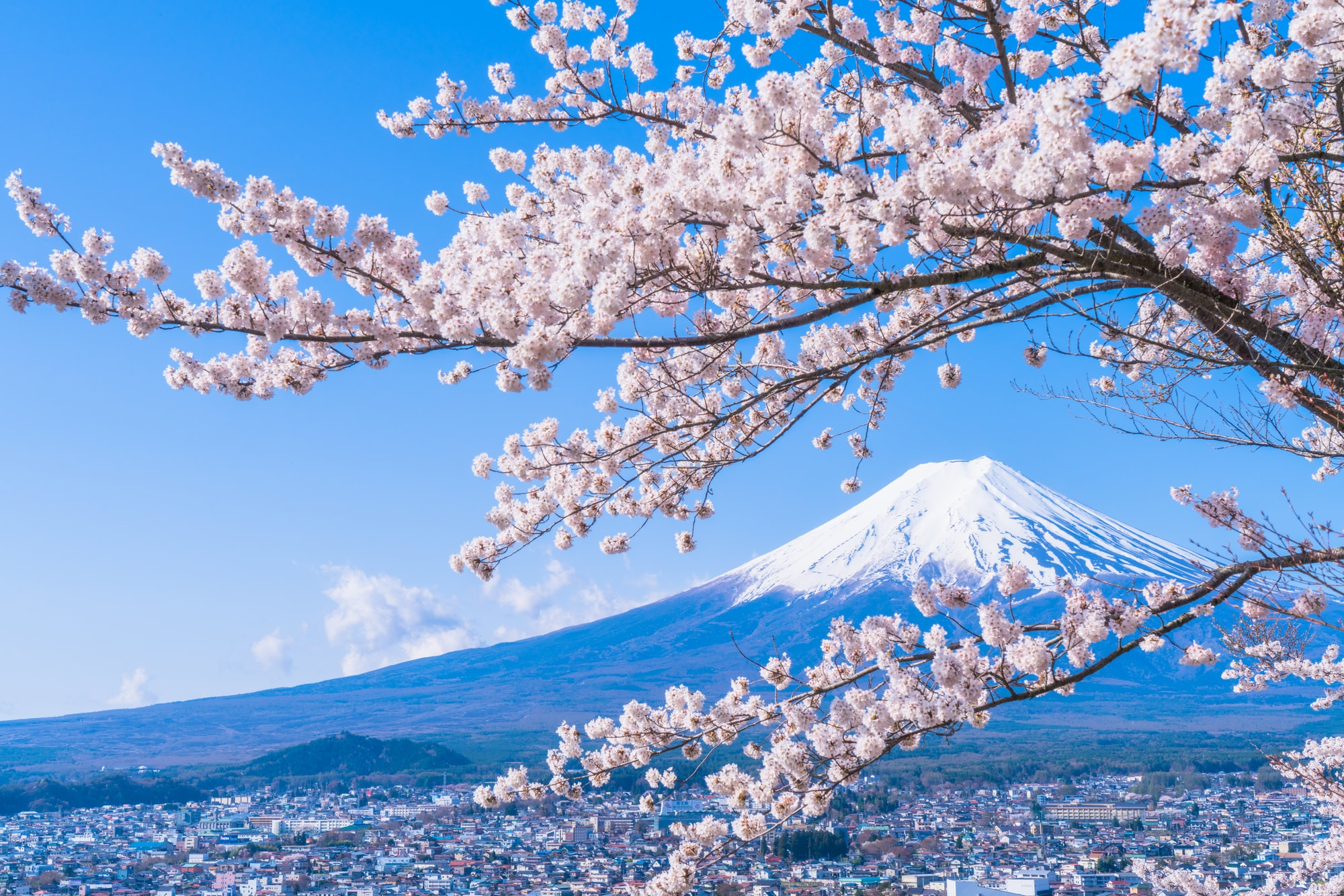 Hoa Anh Đào Nhật Bản đua nhau khoe sắc
