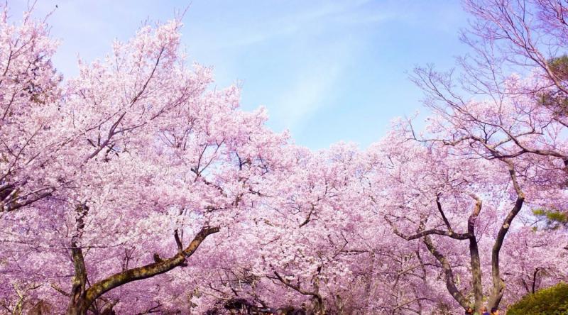 Hoa Anh Đào ở Nhật Bản đẹp nhất