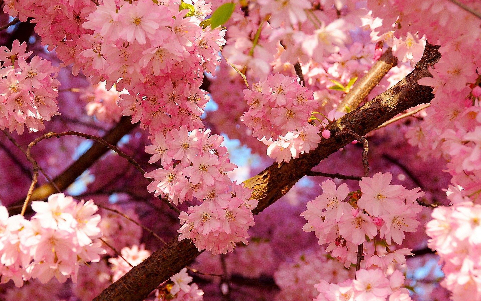 Hoa Anh Đào Sakura