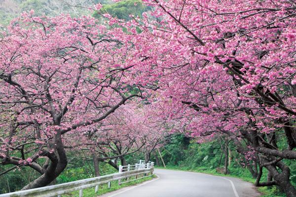 Hoa sakura