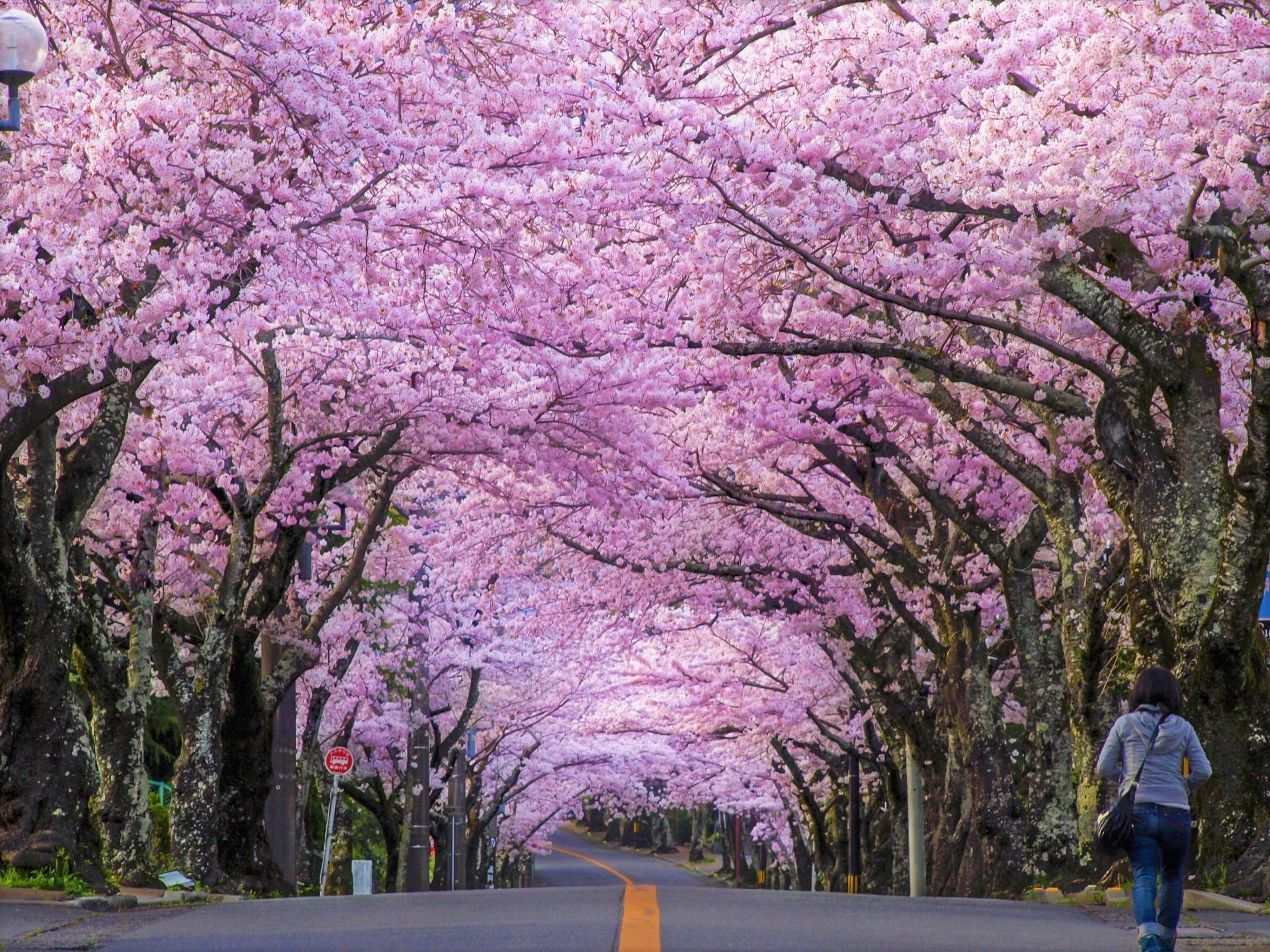 Mùa hoa Anh Đào Nhật Bản đẹp