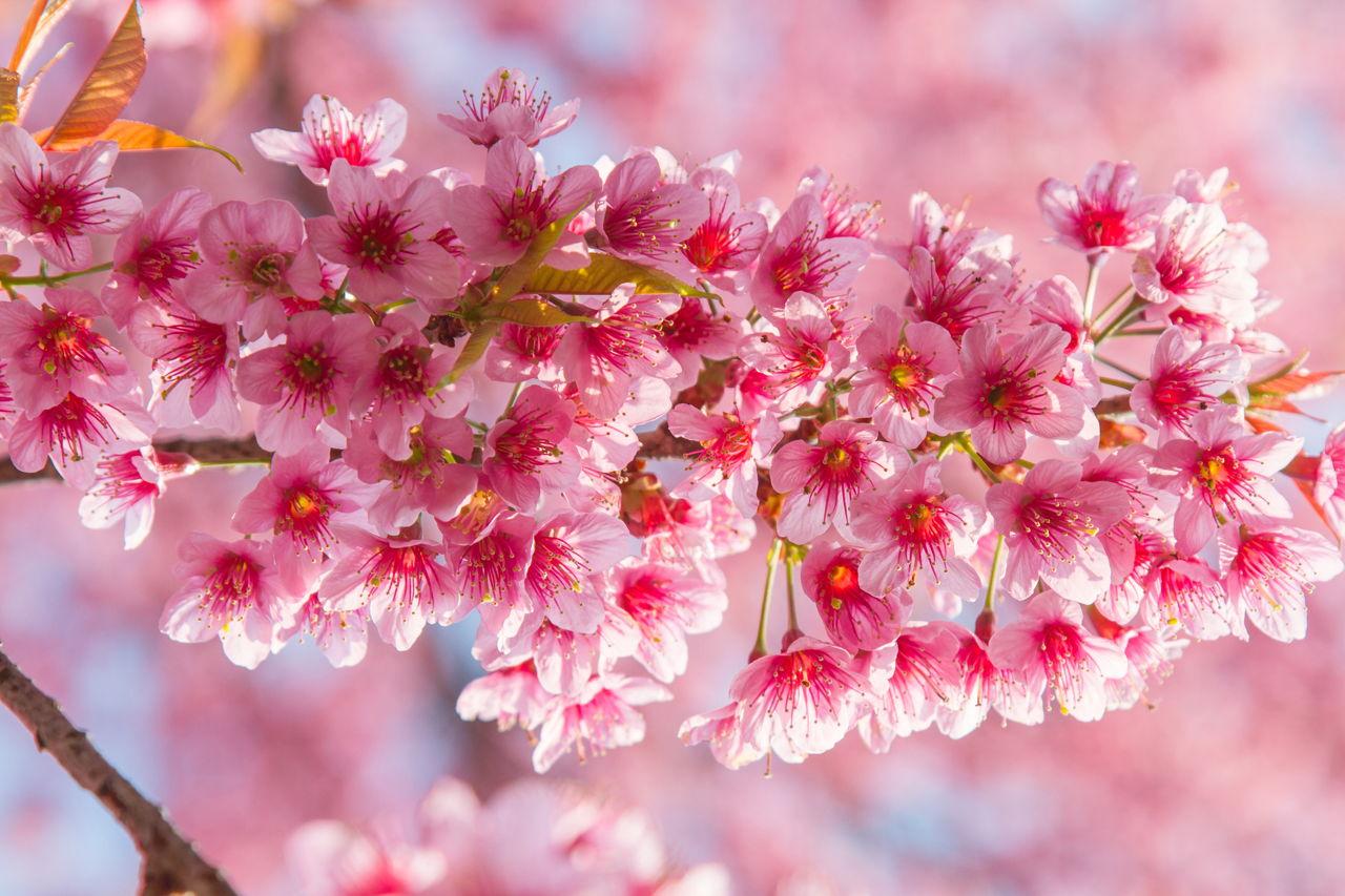 Những hình ảnh hoa Anh Đào đẹp