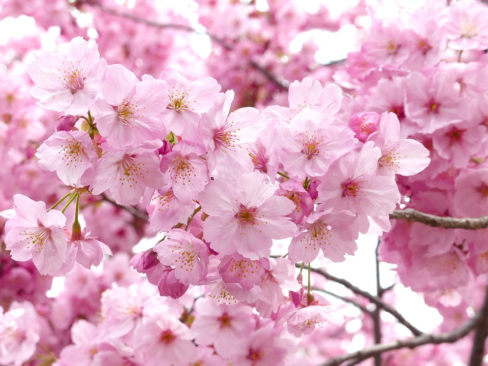 Những hình ảnh hoa Anh Đào Nhật Bản đẹp