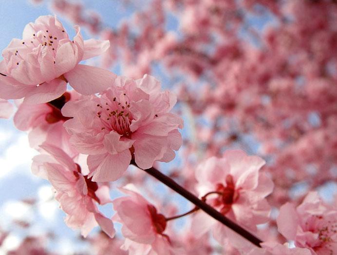 Sakura hoa Anh Đào
