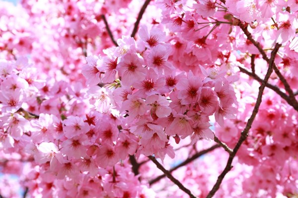 Sakura Nhật Bản