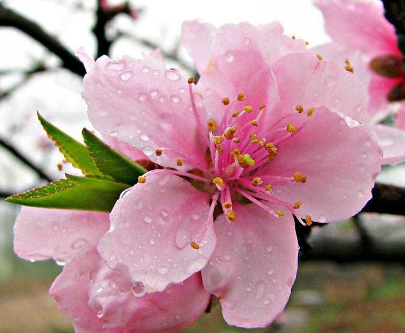 Tranh hoa Anh Đào