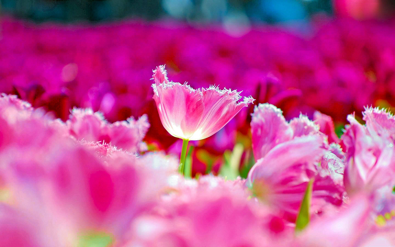 30 hình nền hoa Tulip dành cho máy tính