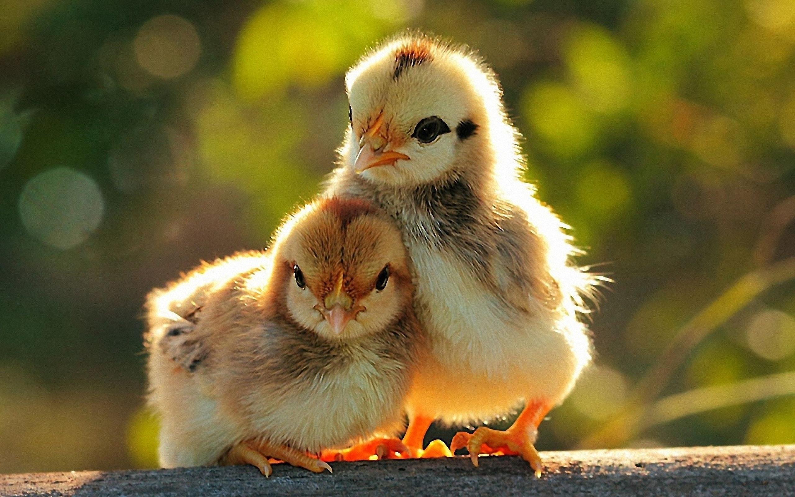 Hình ảnh về những chú gà dễ thương nhất