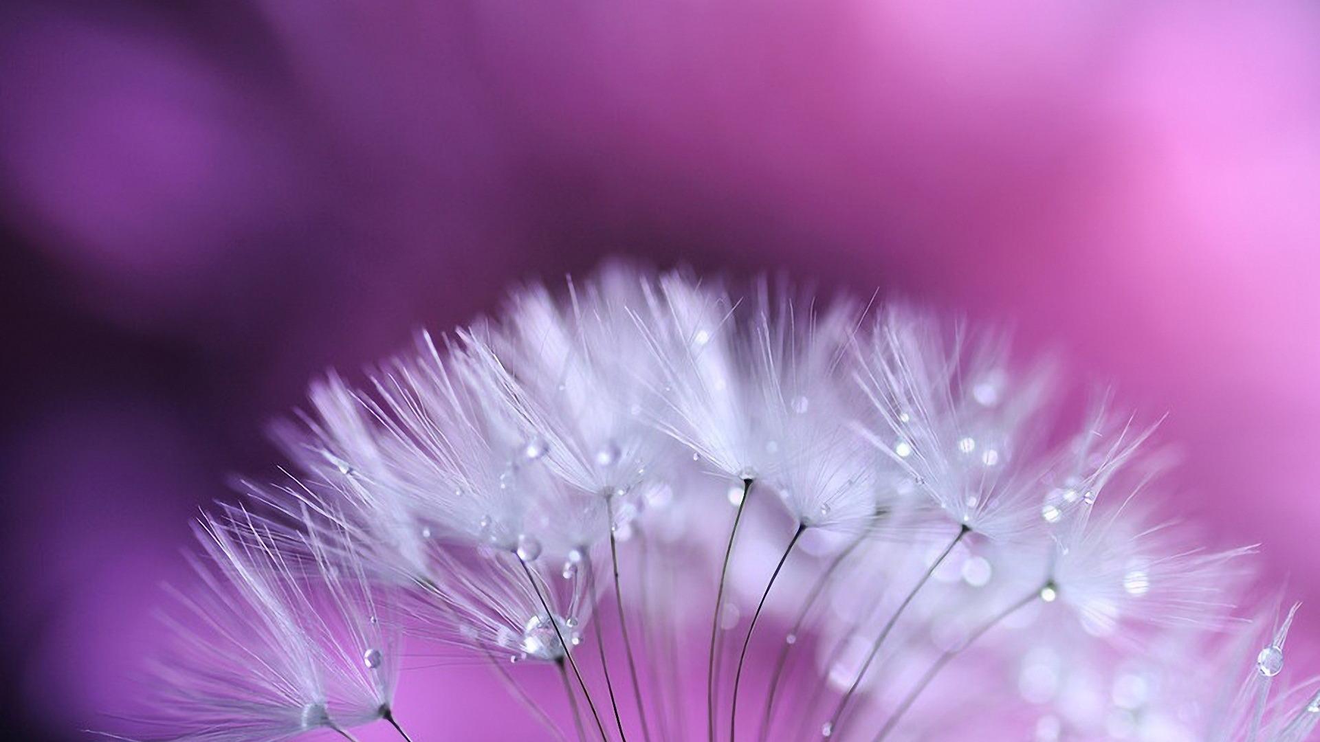 Hình nền hoa bồ công anh đẹp