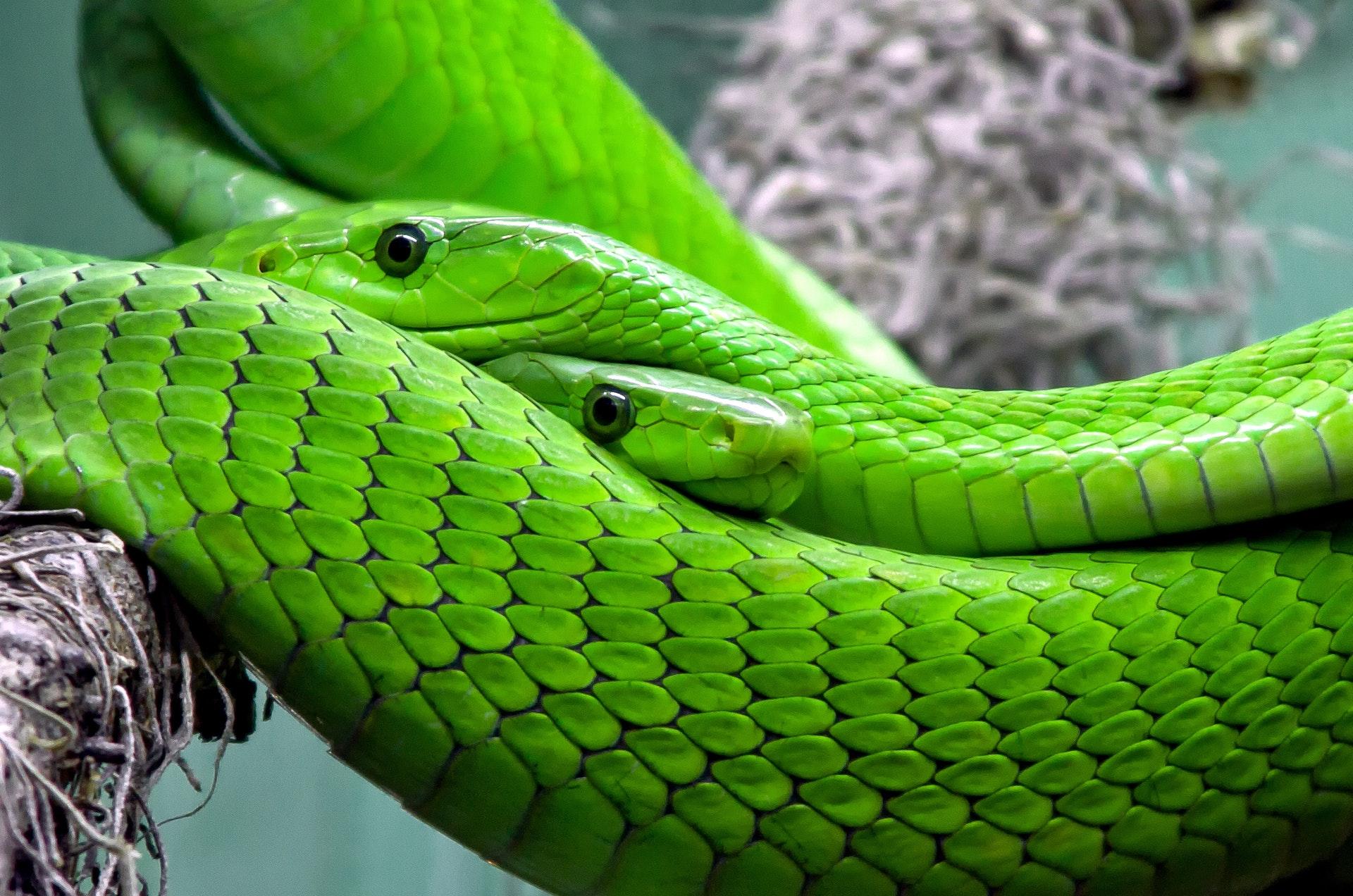 Hình nền rắn mamba mạnh mẽ
