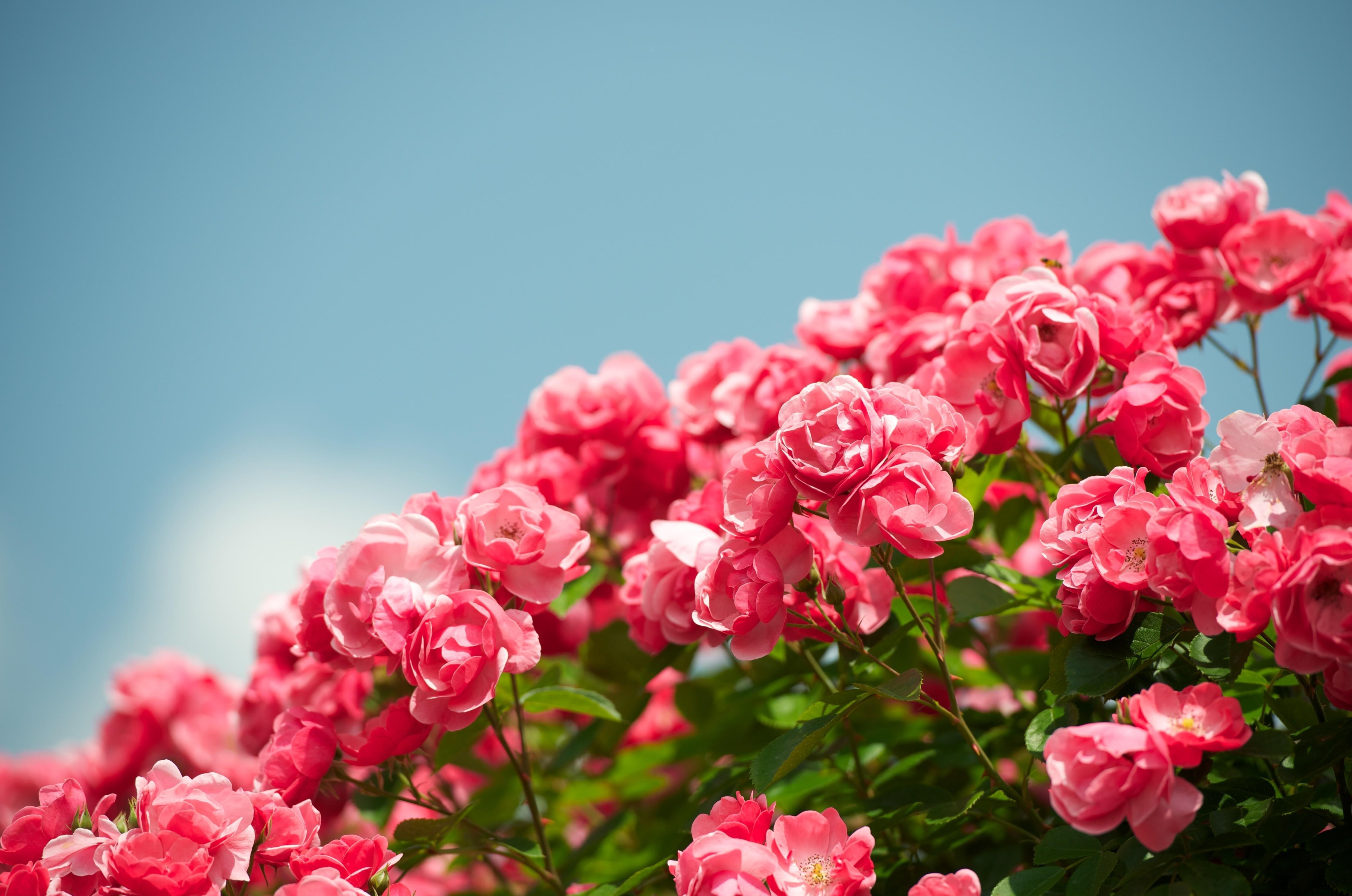 Tổng hợp hình nền hoa hồng đẹp cho máy tính