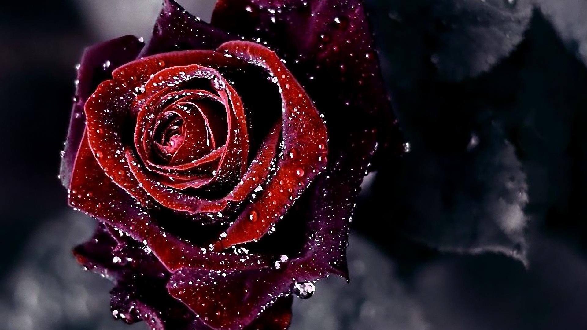 Tổng hợp hình nền hoa hồng đẹp nhất