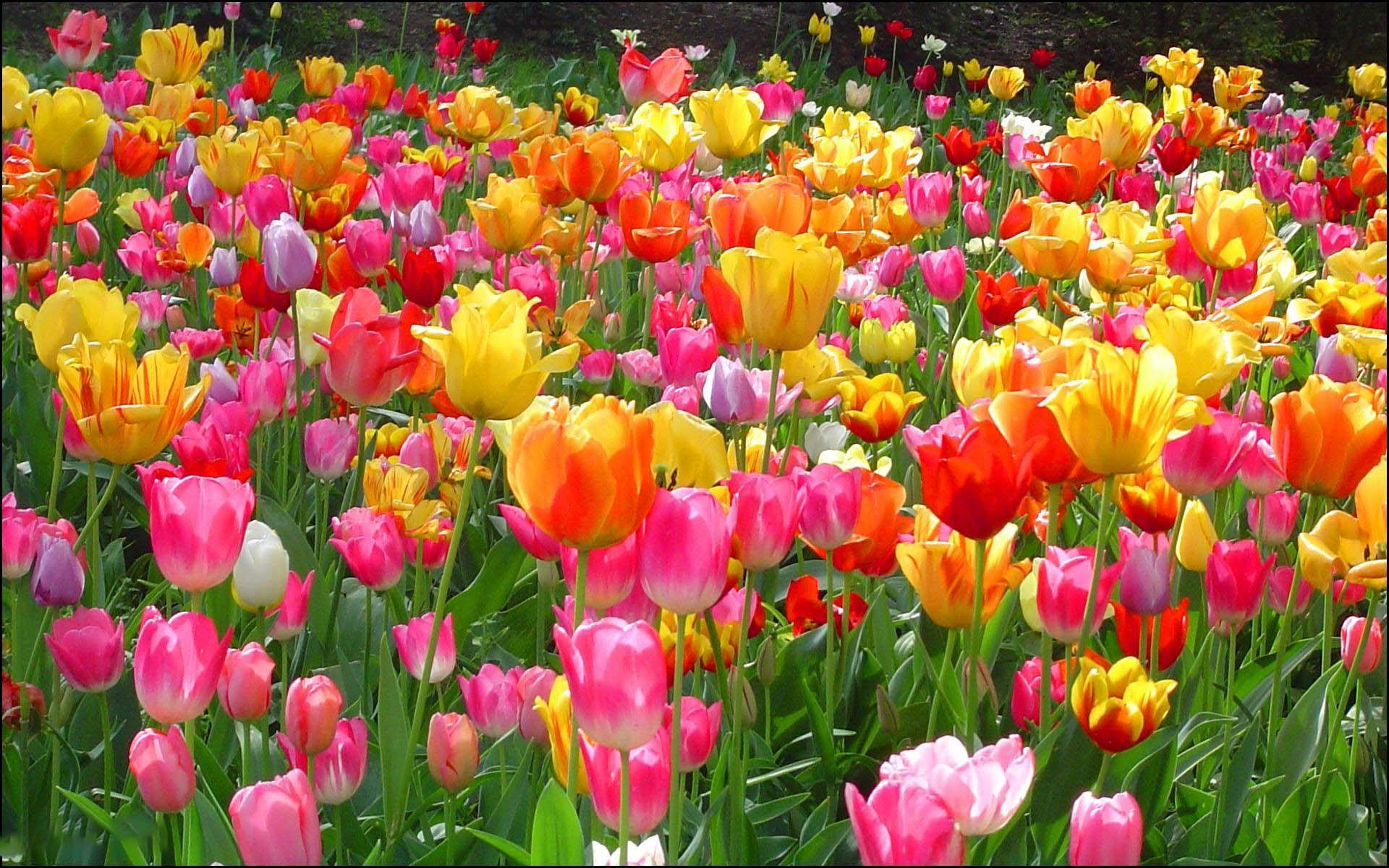 Tổng hợp hình nền hoa Tuluip đẹp nhất
