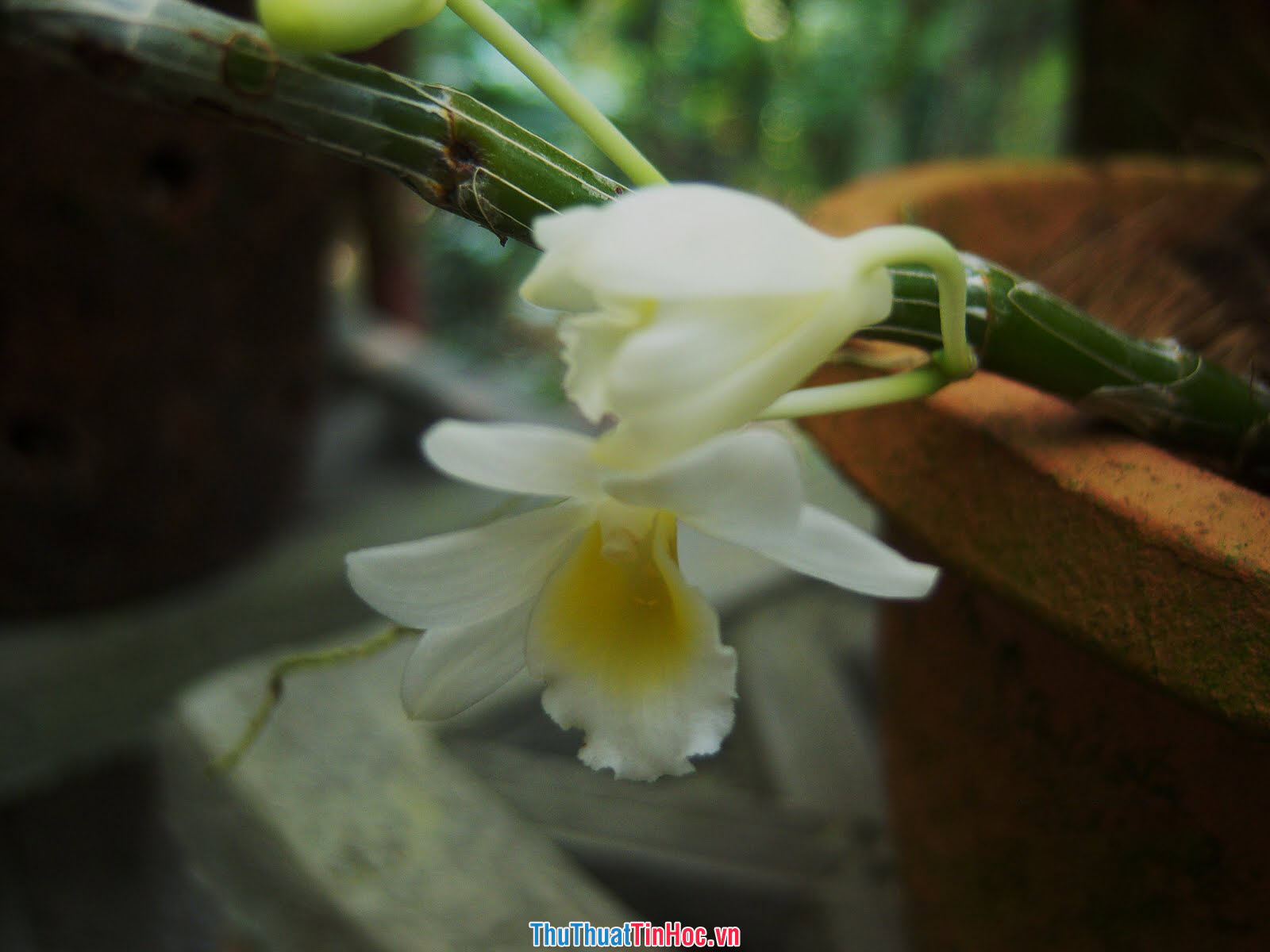 Lan Long Tu (1)