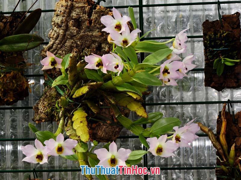 Lan Trần Tuấn (3)