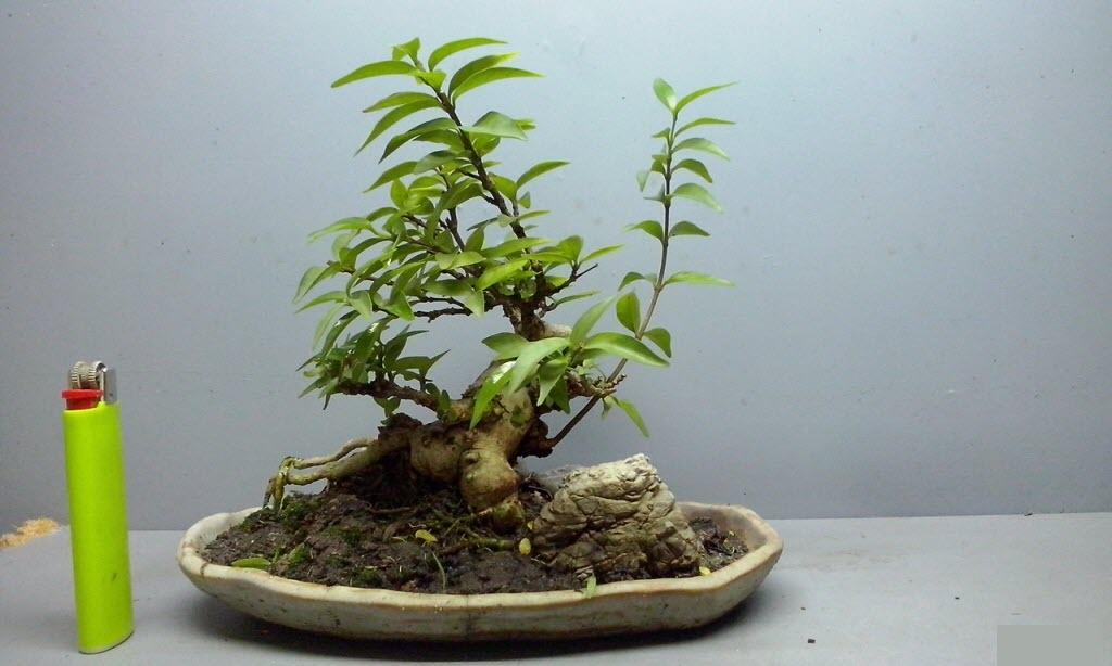Bonsai Mini Tổng Hợp Nhữn Cay Bonsai Mini đẹp Nhất