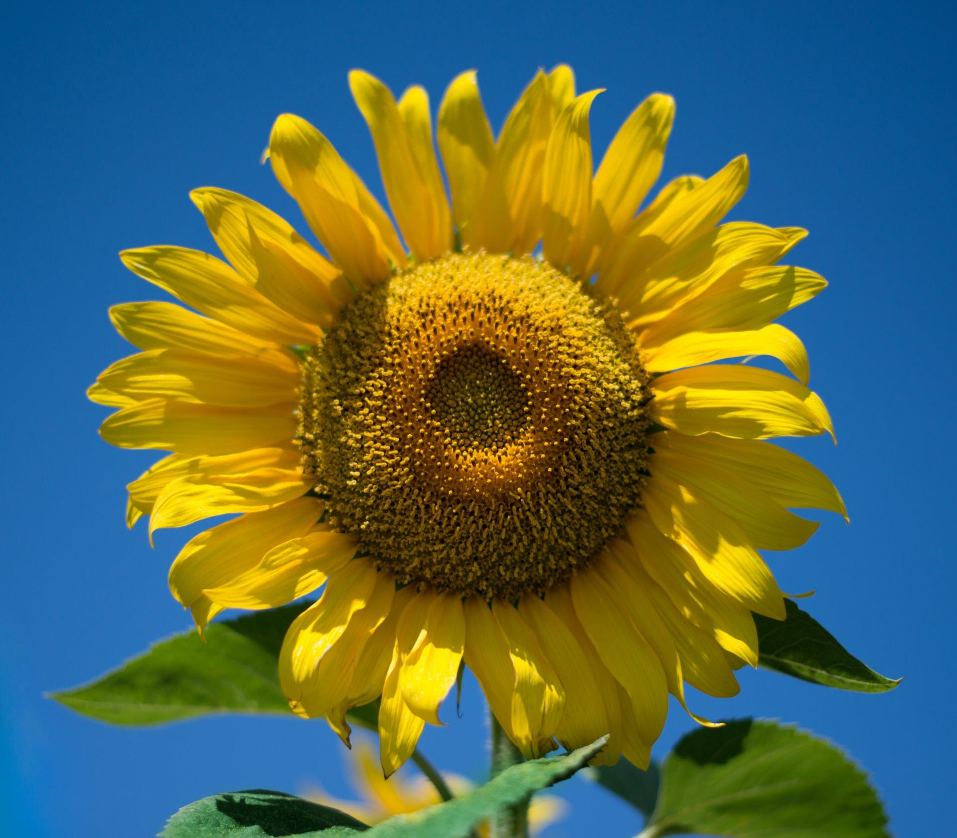 Bông hoa hướng dương