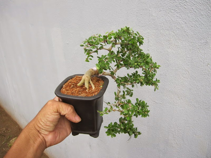 Bonsai mini cực đẹp