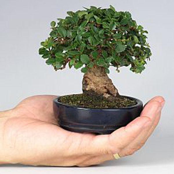 Bonsai mini trong lòng bàn tay đẹp