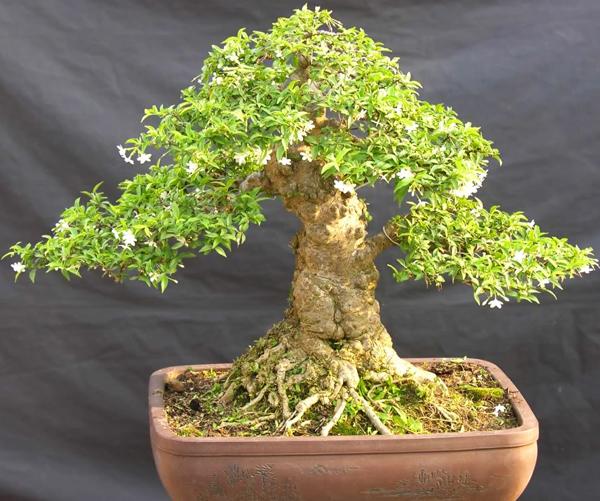 Cây bonsai đẹp nhất (2)