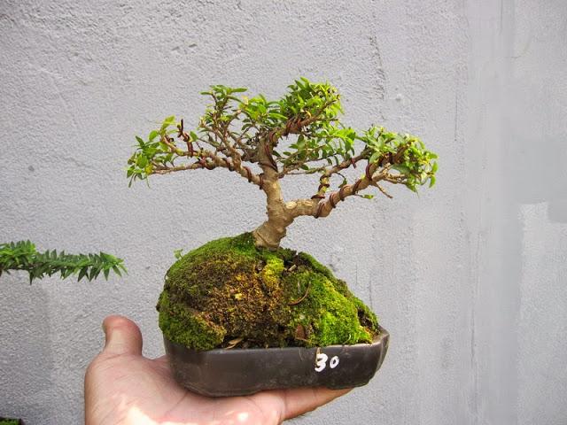 Cây bonsai đẹp nhất