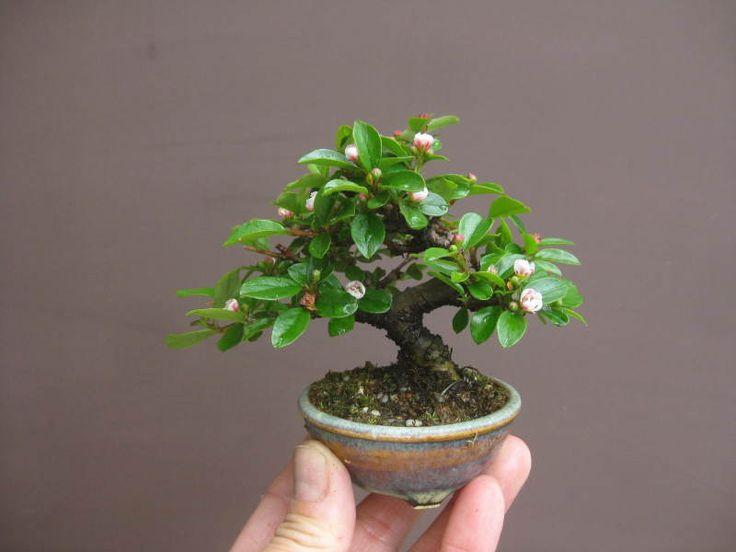 Cây bonsai mini đẹp nhất