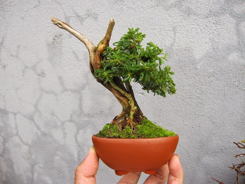 Cây bonsai mini đẹp
