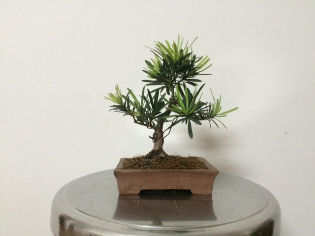 Cây bonsai mini