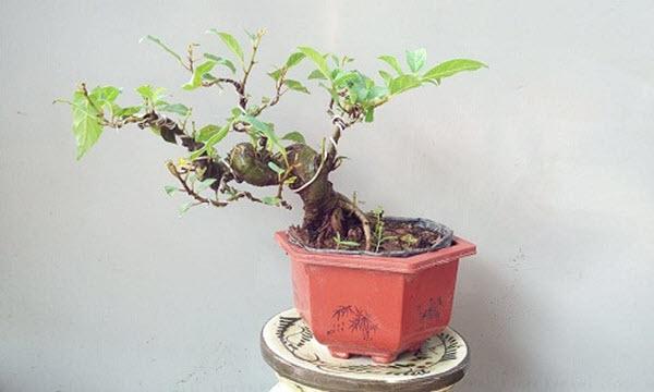 Cây bonsai nhỏ đẹp