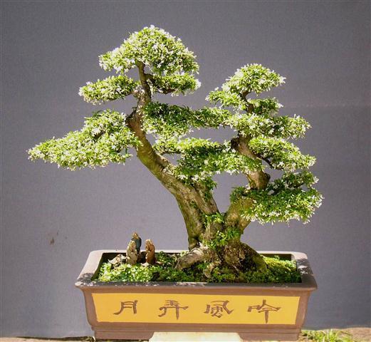 Cây cảnh bonsai đẹp nhất