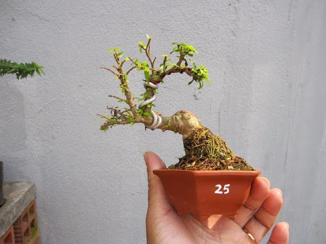 Cây cảnh bonsai mini đẹp