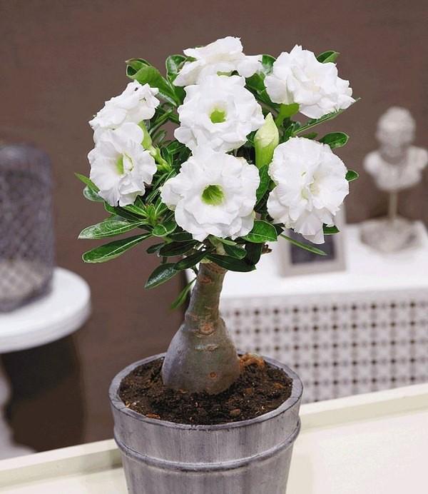 Cây hoa bonsai mini đẹp