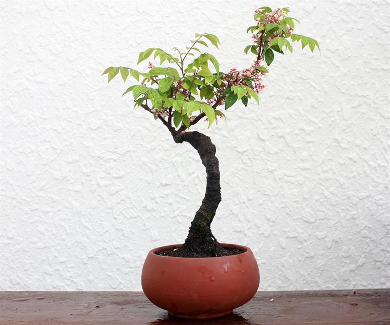 Cây khế bonsai mini đẹp
