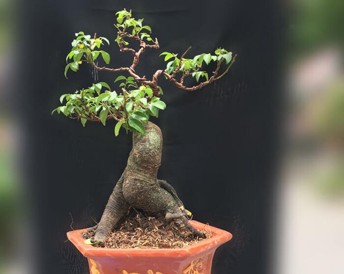 Cây sanh bonsai mini