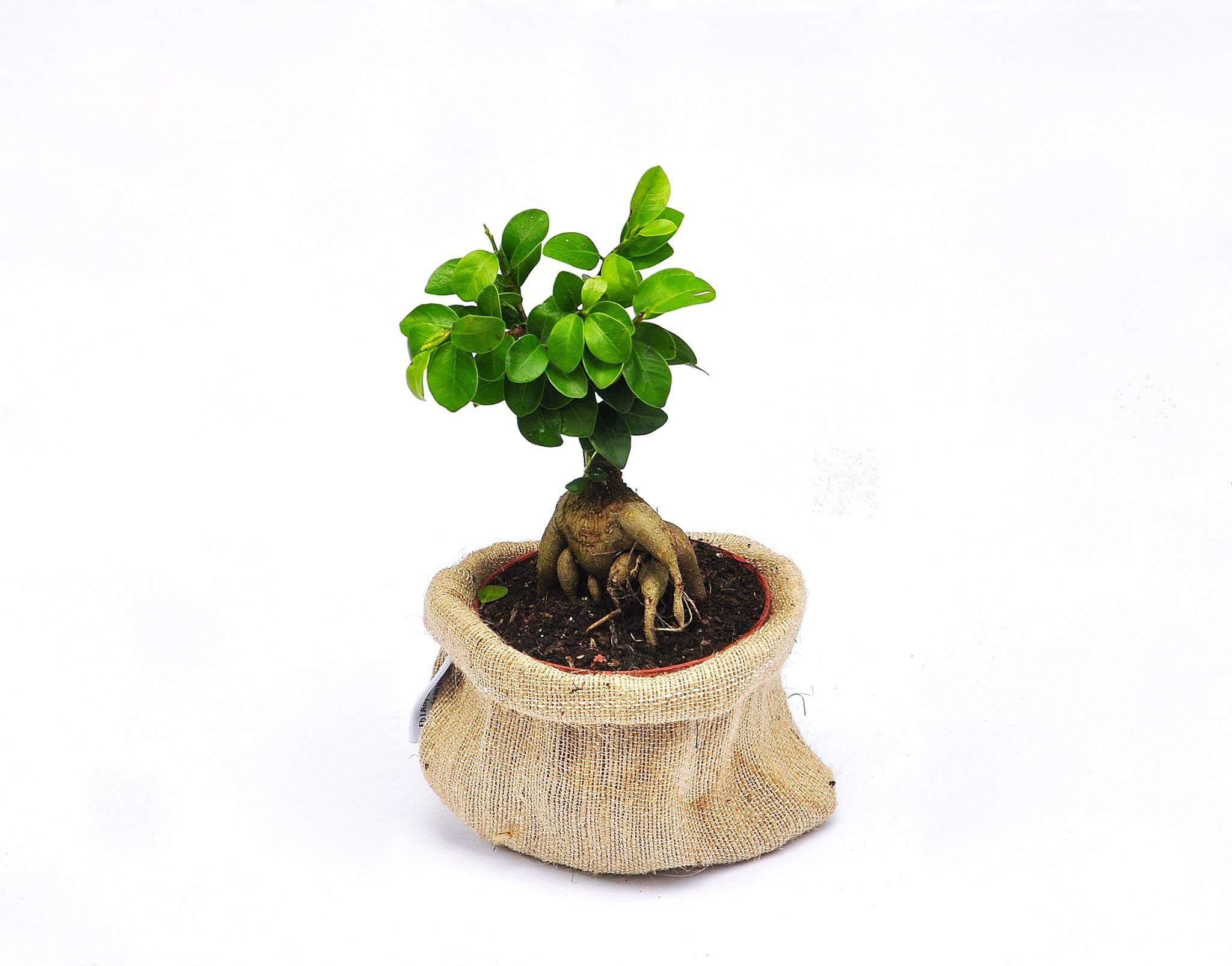 Cây si bonsai mini đẹp