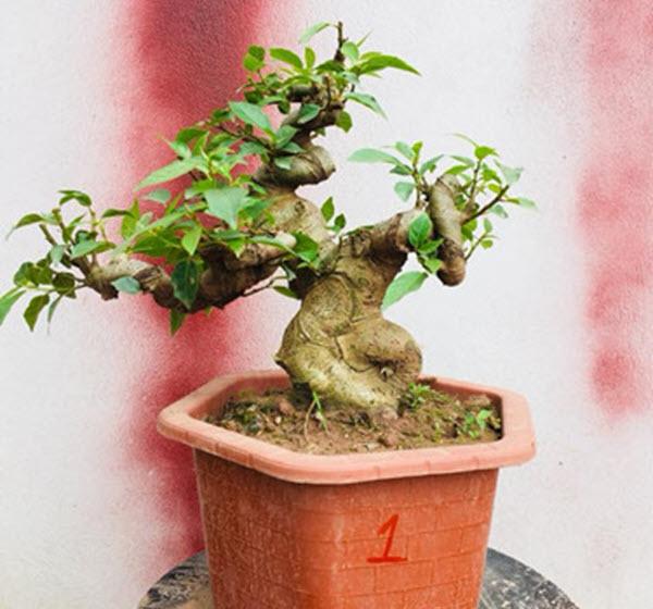 Cây sung bonsai đẹp