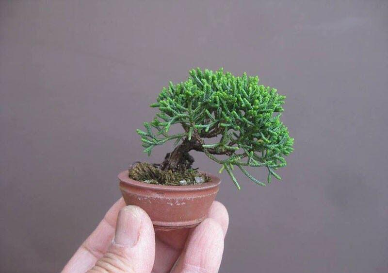 Cây tùng bonsai mini