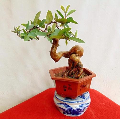 Chậu bonsai mini cực đẹp