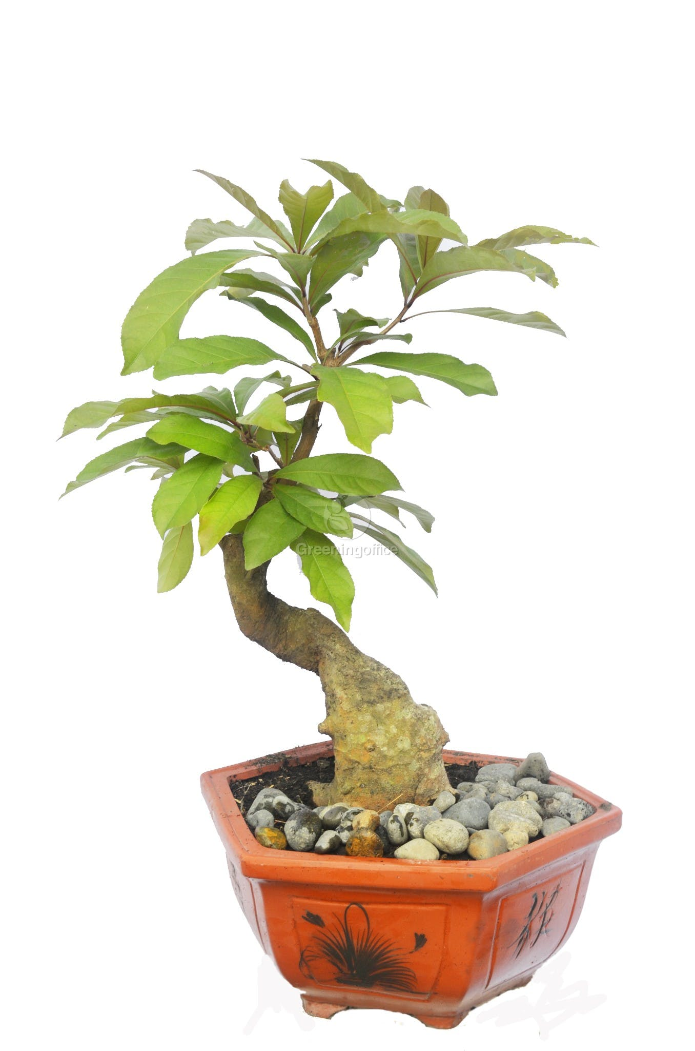 Chậu bonsai mini đẹp