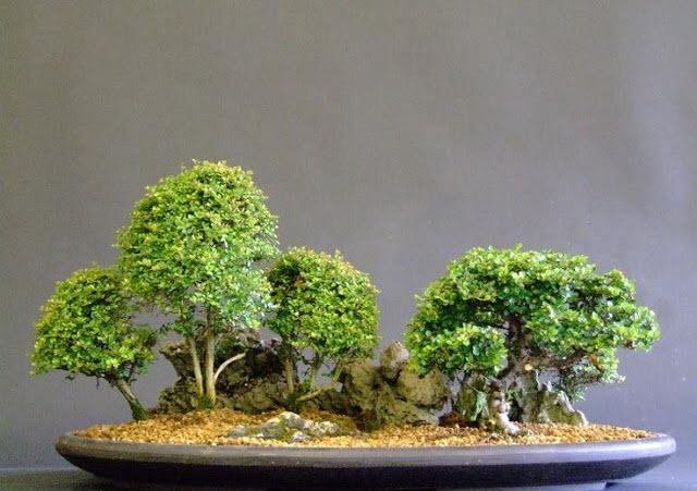 Chậu các cây bonsai mini đẹp