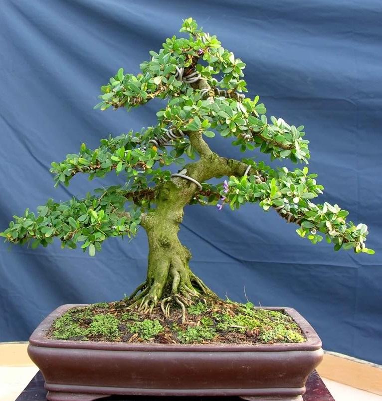 Chậu cây bonsai đẹp nhất