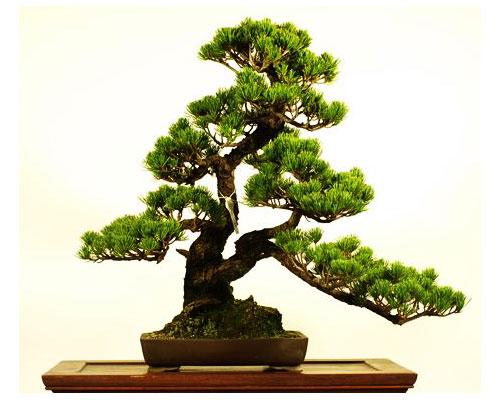 Chậu cây bonsai mini cực đẹp