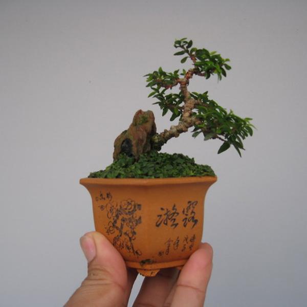 Chậu cây bonsai nhỏ đẹp