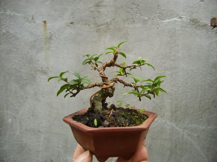 Chậu cây cảnh bonsai mini đẹp